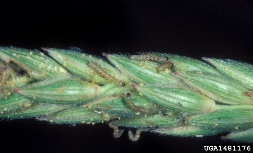 Many small caterpillars feeding on the plant