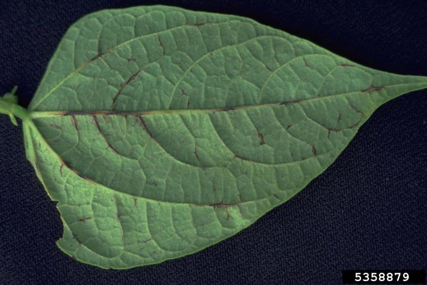 anthracanose leaf veins lesions