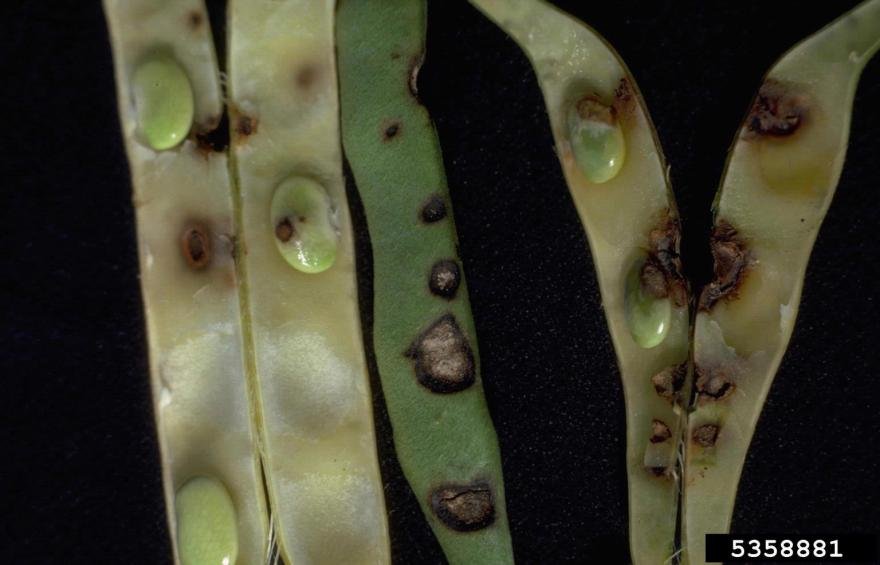 Anthracnose shriveled and aborted pods