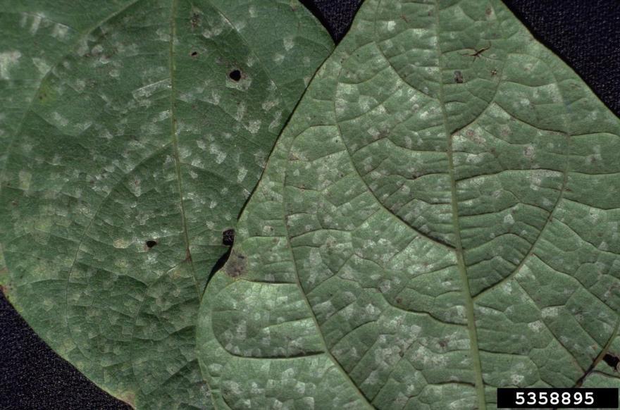 White Leaf Spot