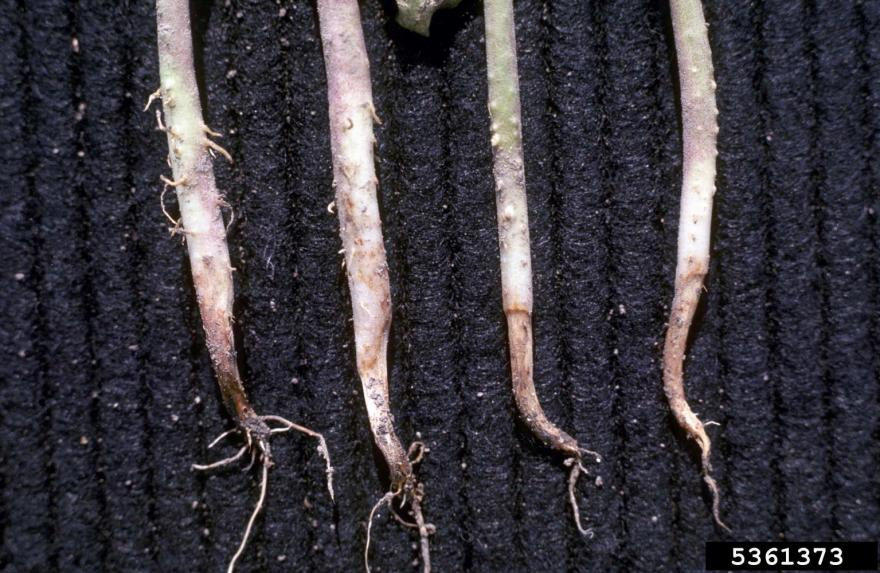 Water-soaked areas on the hypocotyls and main root system