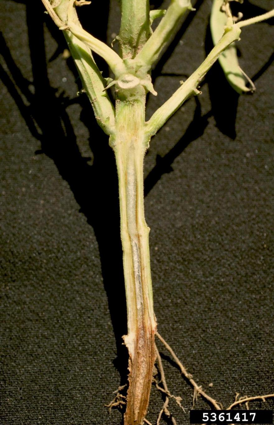 Plant cut open to reveal discoloration in the vascular tissue