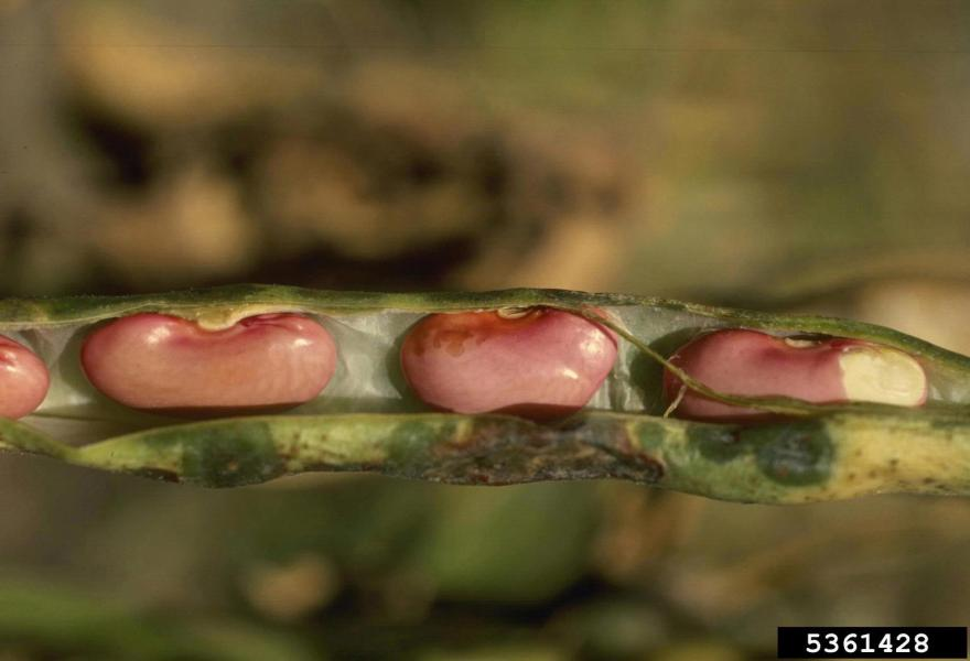 Lesions on seed and pod