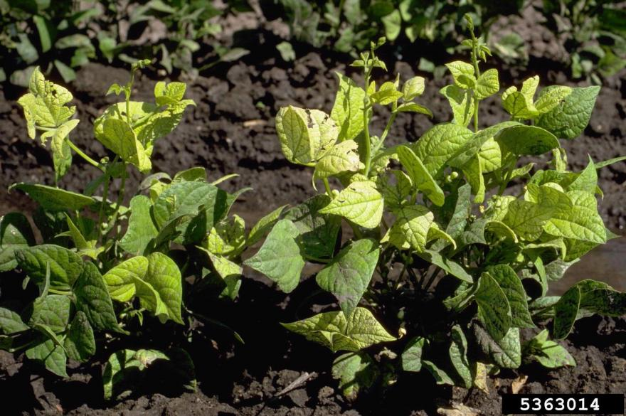 Nutrient deficiency on common bean resulting in yellow leaves