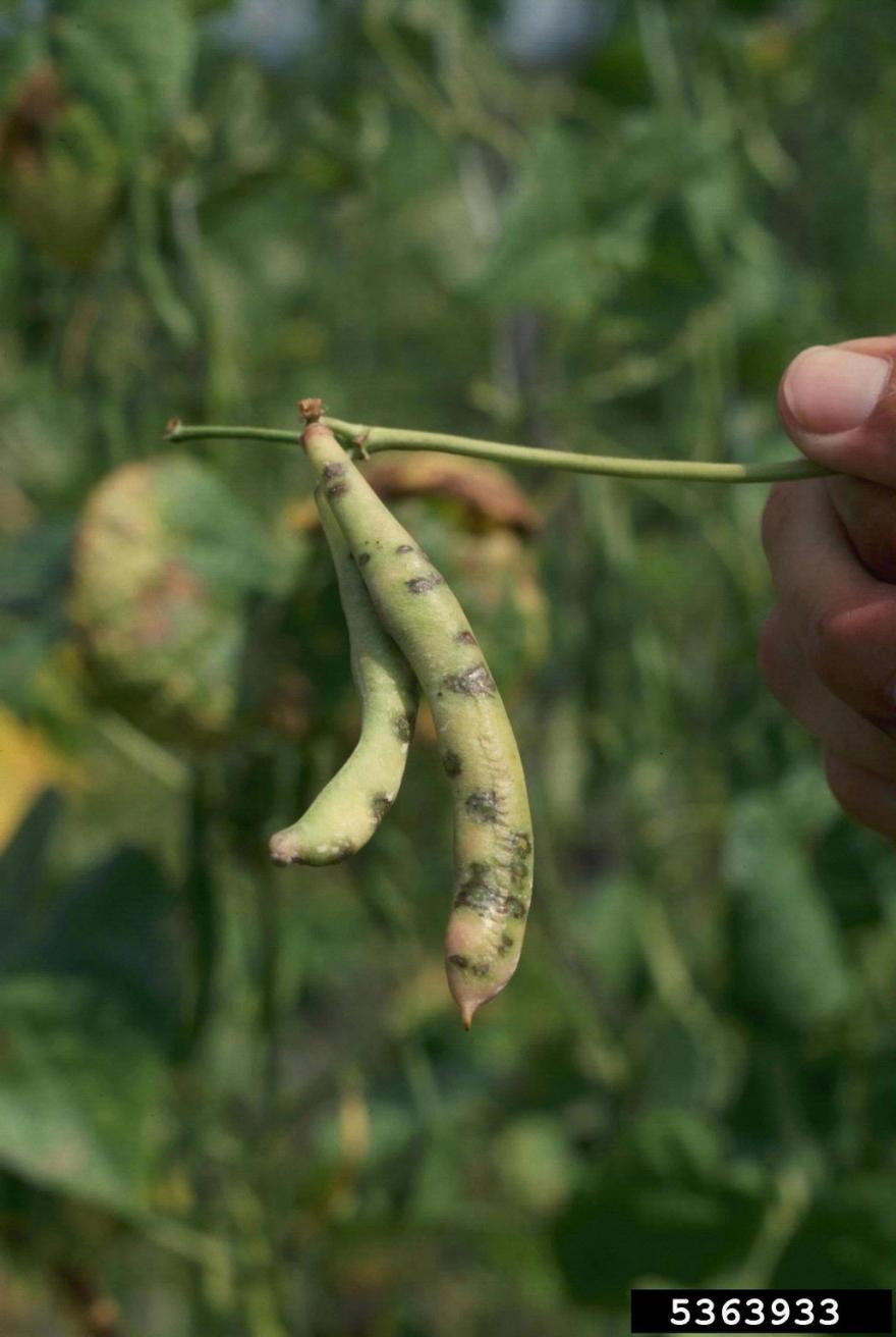 Pod with lesions