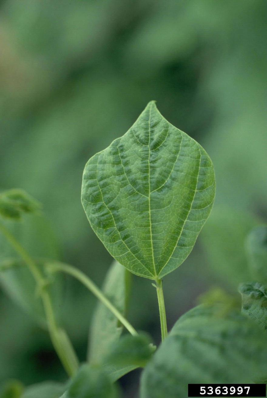Faint chlorosis and vein banding of drybean—BCMV