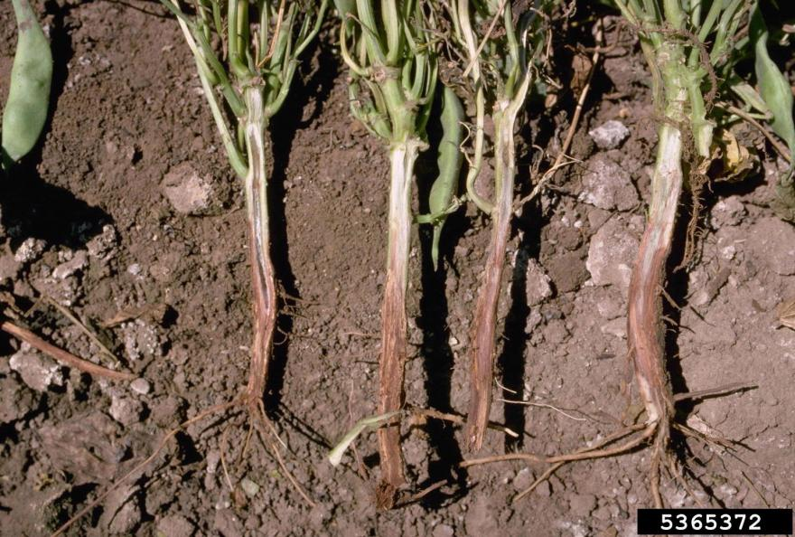 Lesions covering the roots