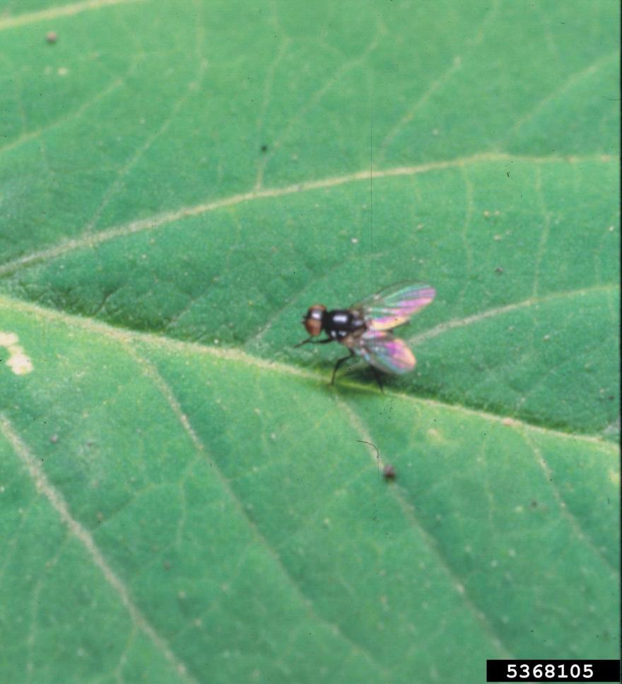 Bean fly adult