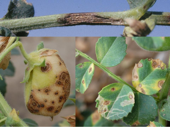 Elongate lesions on stems (top), and circular lesions on leaves (bottom right) and pods (bottom left).