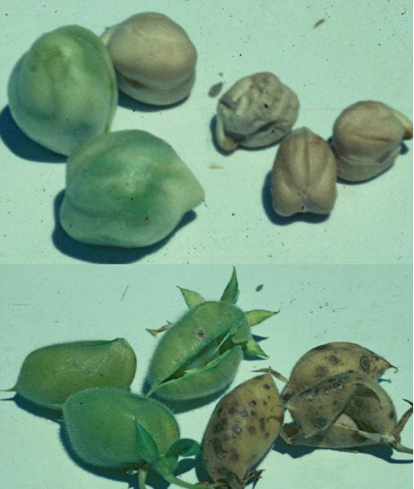 Effect of infection on seed size and quality.