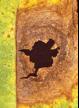 Alternaria Leaf and Pod Spot