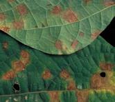 Cercospora Leaf Spot and Blotch