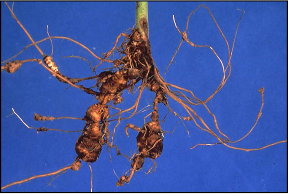 Galls on roots