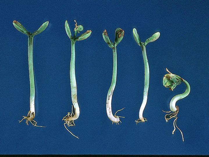 Seedcorn maggot