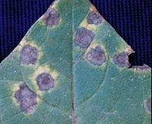 Entyloma Leaf Smut