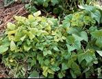 Phytoplasma stunted leaves