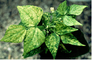 Bean calico mosaic virus