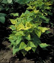 Bean golden yellow mosaic virus