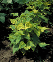 Bean golden yellow mosaic virus